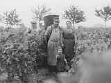 Die Fotografie aud dem Jahr 1959 sieht man die Familie Peth mit dem jungen Heinfried im Vordergrund bei der traditionellen Handlese. Im Hintergrund sieht man die vier der fünf Kirschbäume in den Vier Morgen, von denen zwei heute noch erhalten sind.