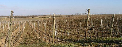 Aufnahme zeigt den weitläufigen Verlauf der Rieslinganlage des Weingut A.u.H Peth an der Grenze des Bermersheimer Hasenlauf zum Westhofener Rotenstein.