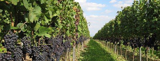 Ein Blick in eine schattige Wingertreihe bei schönen sommerlichen Temperaturen. Die reifen Spätburgunder Trauben bilden kurz vor der Ertragsreduzierung eine prachtvolle Wand.