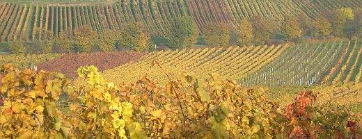 Ein Blick über die herbstlichen Ebenen der Rheinhessen Weinlage: Gundersheimer Königsstuhl