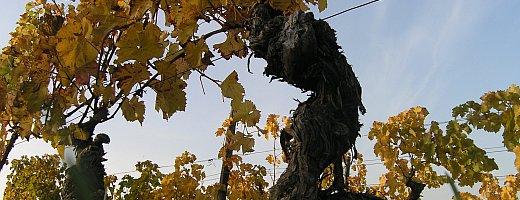 Nahaufnahme eines wurzelechten Portugieser Rebstocks der im Jahr 1954 gesetzt wurde. Herbstliches Laub hängt an den Reben.