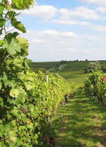 Aufnahme zeigt eine Rebstockreihe aus dem Gundersheimer Königsstuhl bei herbstlich sommerlicher Temperatur. Dezent sieht man den Herbst an den Weinblättern nagen.