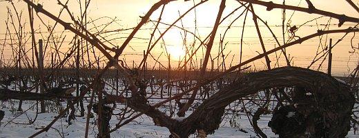 Auf diesem Bild sieht man die letzten Sonnestrahlen eines Wintertages, die sich Ihren Weg durch die kahlen Reben suchen.