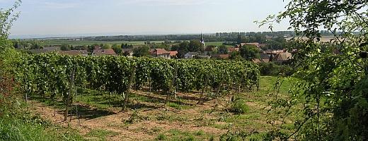 Auf dem Bild sieht man den durch die Wildrosen umschlungenen Weinberg des Kriegsheimer Rosengartens. Im Hintergrund die südliche Grenze Rheinhessens zur Vorderpfalz.