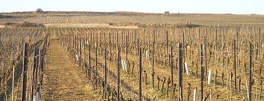 Die Aufnahme zeigt die im Spätwinter geschnittenen Riesling Weinreben der Westhofener Steingrube. Die gehäckselten, überflüssigen Weinreben, die sich am Boden befinden werden wieder zu Humus und führen dem Boden Nährstoffe zu.